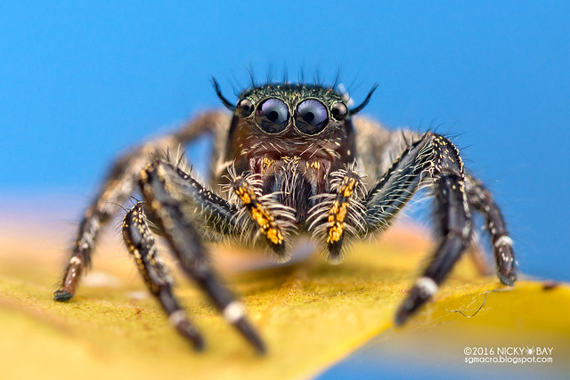Jumping spider (Hyllus sp.) - DSC_4937