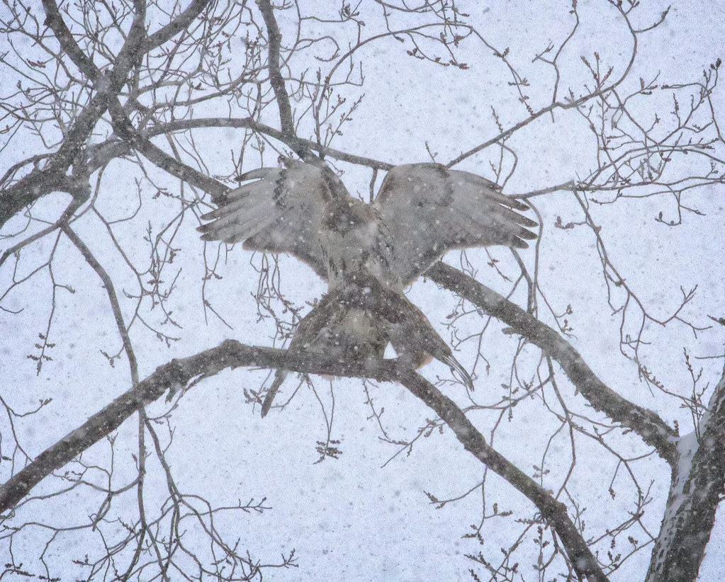 Mating in the snow
