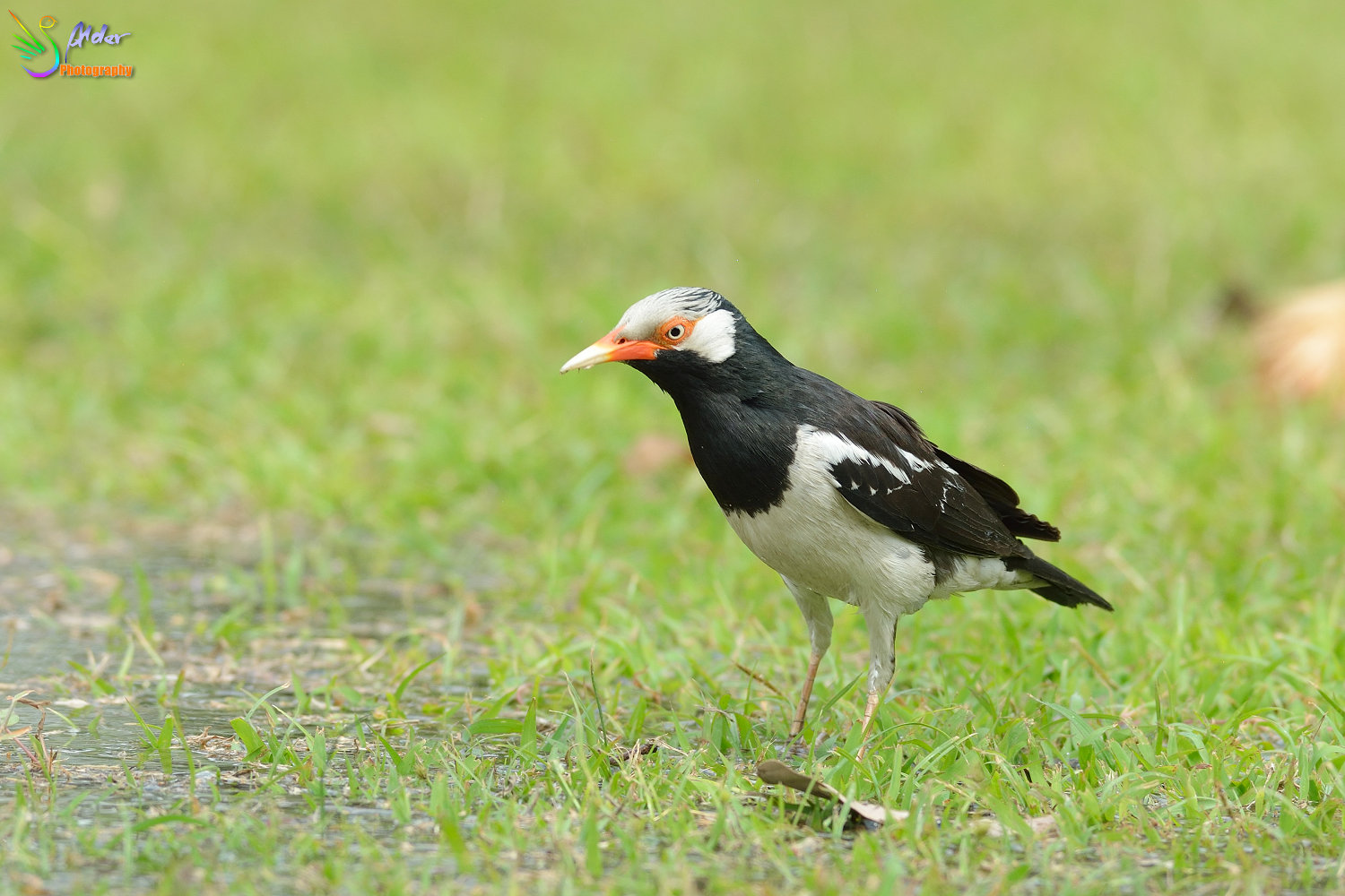 Asian_Pied_Starling_1510