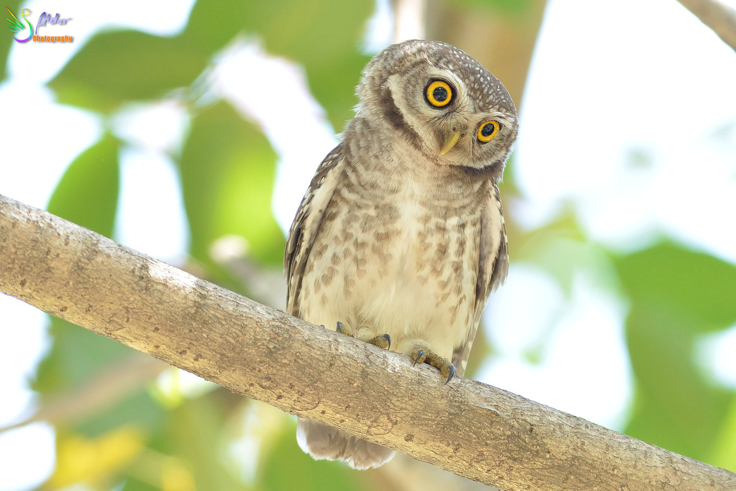 Spotted_Owlet_3331