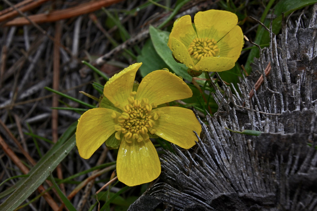 Sagebrush Buttercup