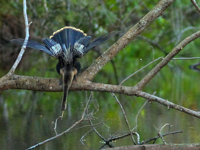 Anhinga reflection crop 20160226
