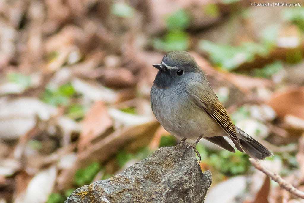 Rufous Gorgeted Flycatcher