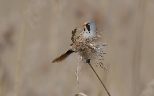 lithuania beardedtit panurusbiarmicus tauragė bartmeise ūsuotojizylė