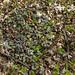 Small photo of Reflexed Trillium (Trillium recurvatum)