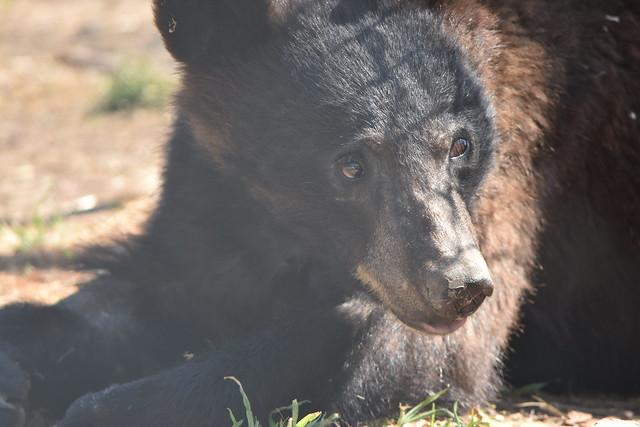 Black Bears of 2015: Release Week 2016