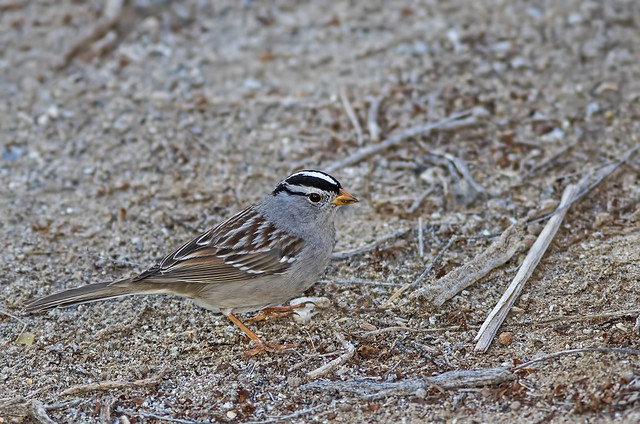 White-Crowned Sparrow 5_7D2_100116