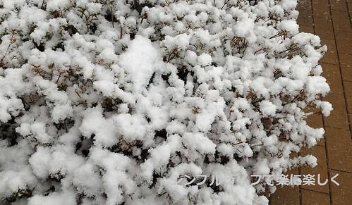 雪の日自己発熱、植木の雪