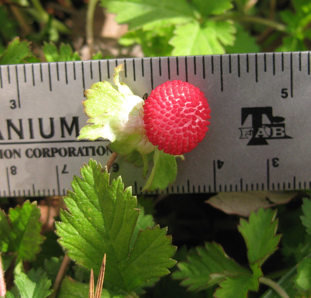 Foraging Texas Indian Strawberry Plant Diagram All Rights Reserved