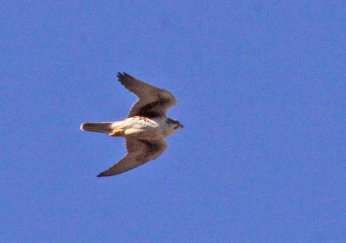 falcon prairie falco mexicanus
