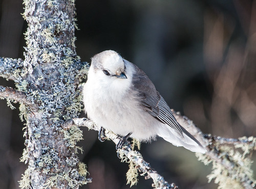Slightly leucistic Gray Jay