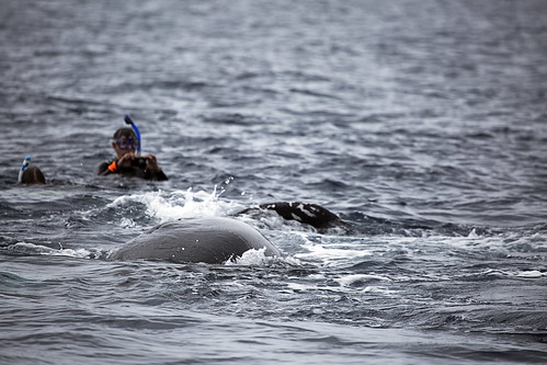 humpback calf with swimmers