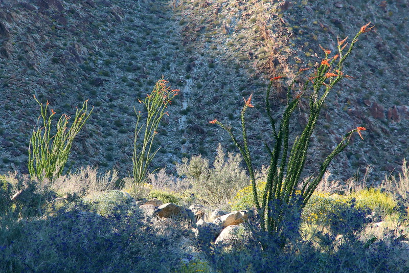IMG_1524 Ocotillo at Borrego Palm Canyon, Anza-Borrego Desert State Park