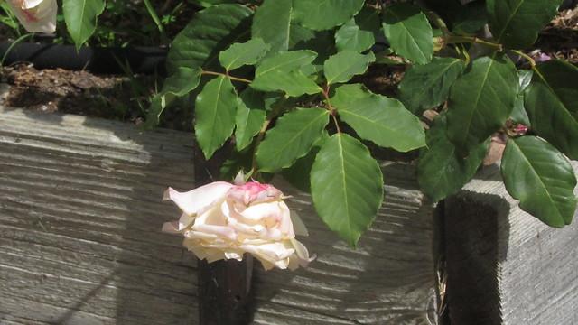 IMG_8202 mrs dudley cross rose
