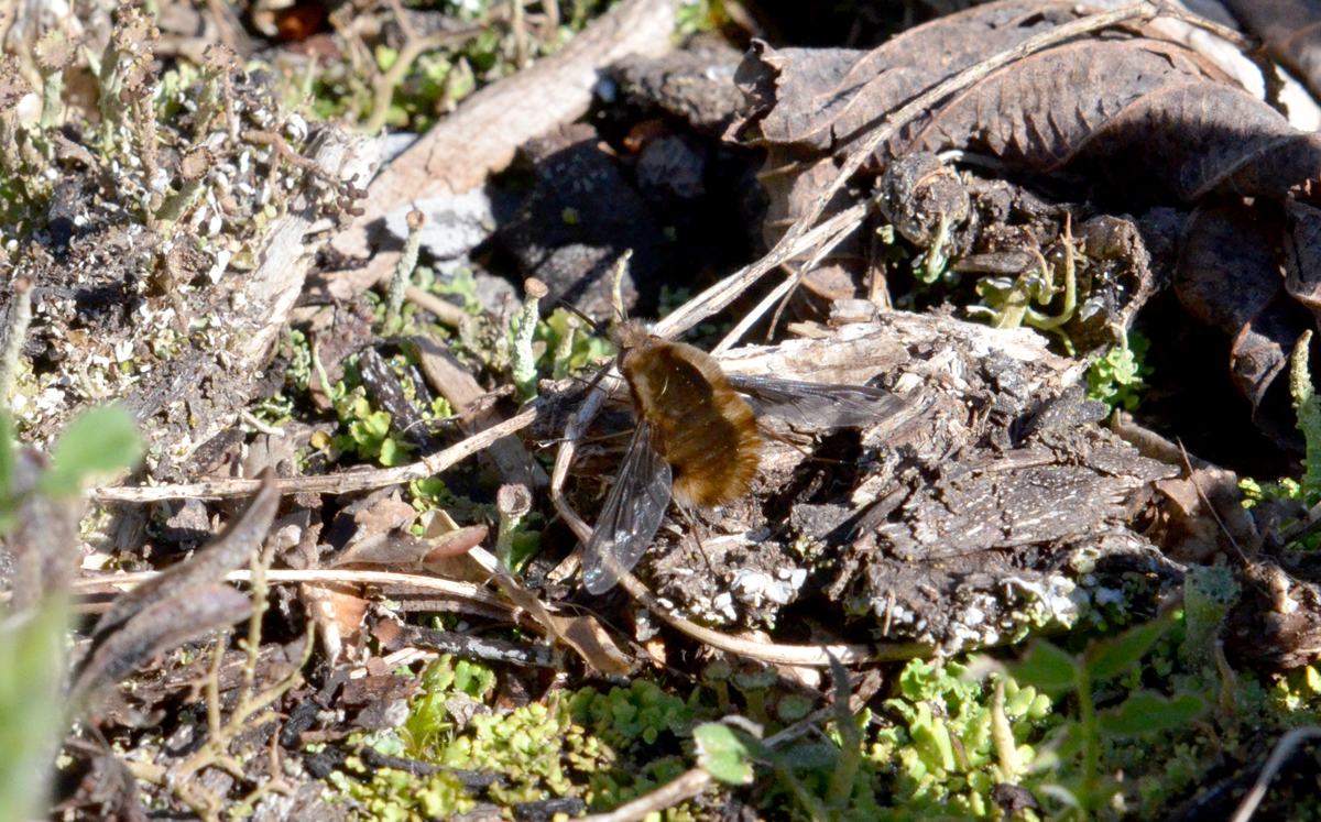 Bombylius major - 3/29/2016