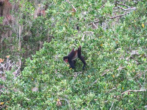 Tikal: un singe araignée