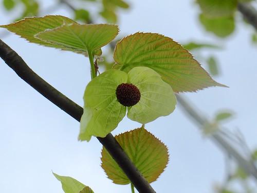 ハンカチの木の花