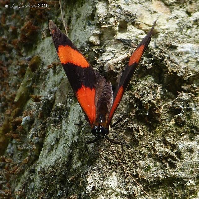 Callicore pitheas