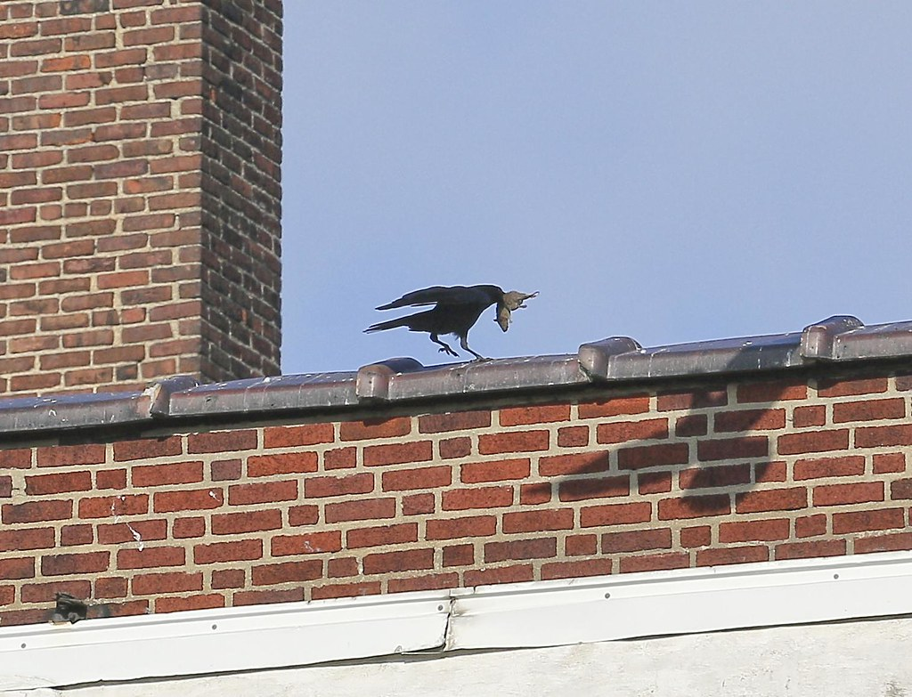 Crow with a rat