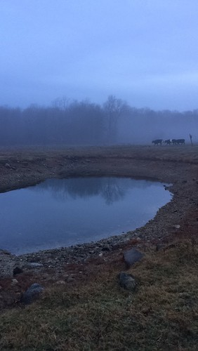 Foggy Farm Christmas Cows