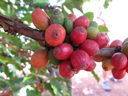 Plateau des Bolovens: des graines de café