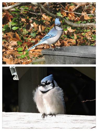 Blue Jay #10