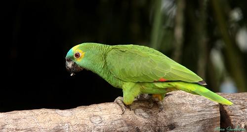 Papagaio-verdadeiro | Blue-fronted Parrot (Amazona aestiva)