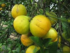 starr-130312-2323-Citrus_sinensis-Valencia_fruit-Pali_o_Waipio_Huelo-Maui