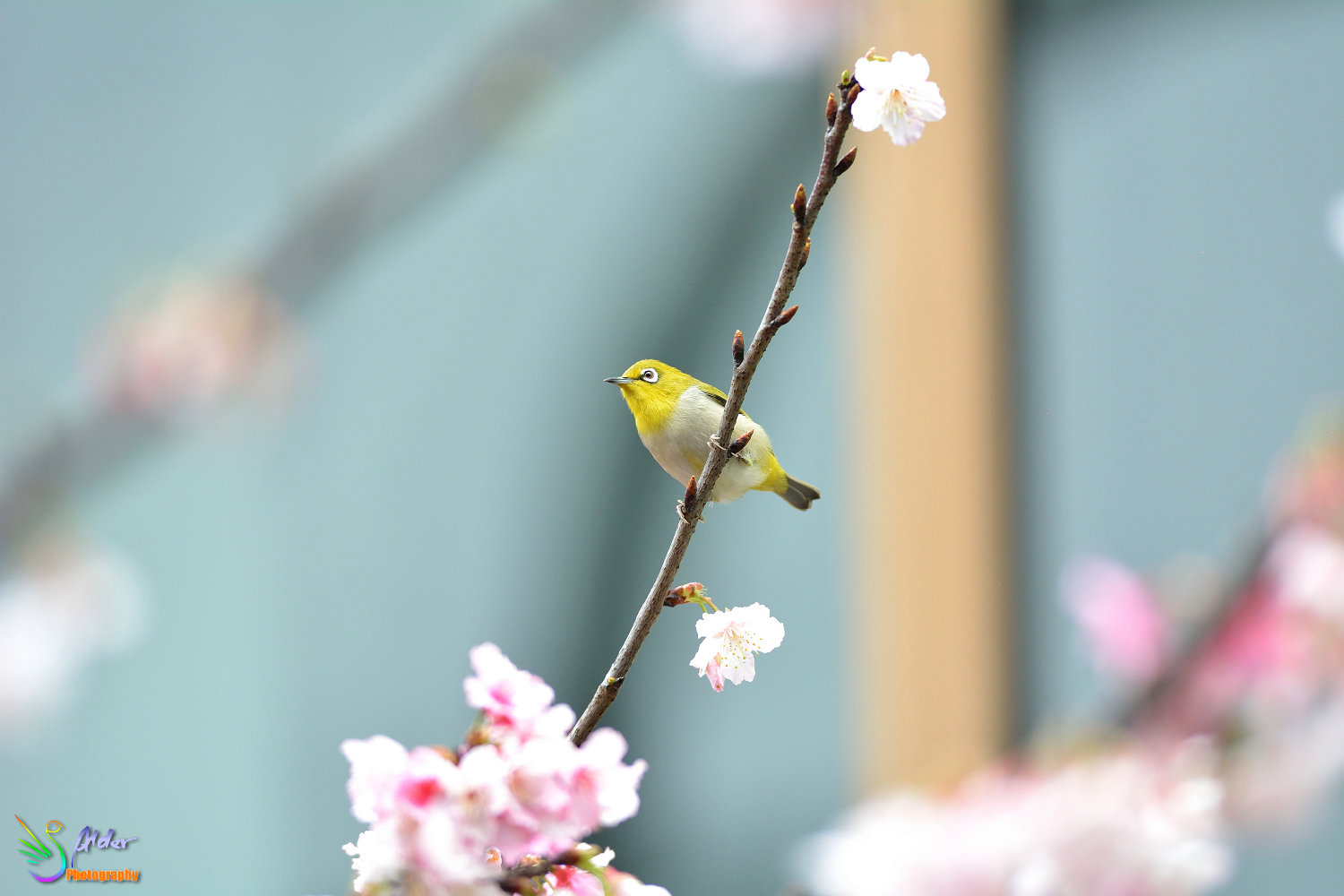 Sakura_White-eye_6435