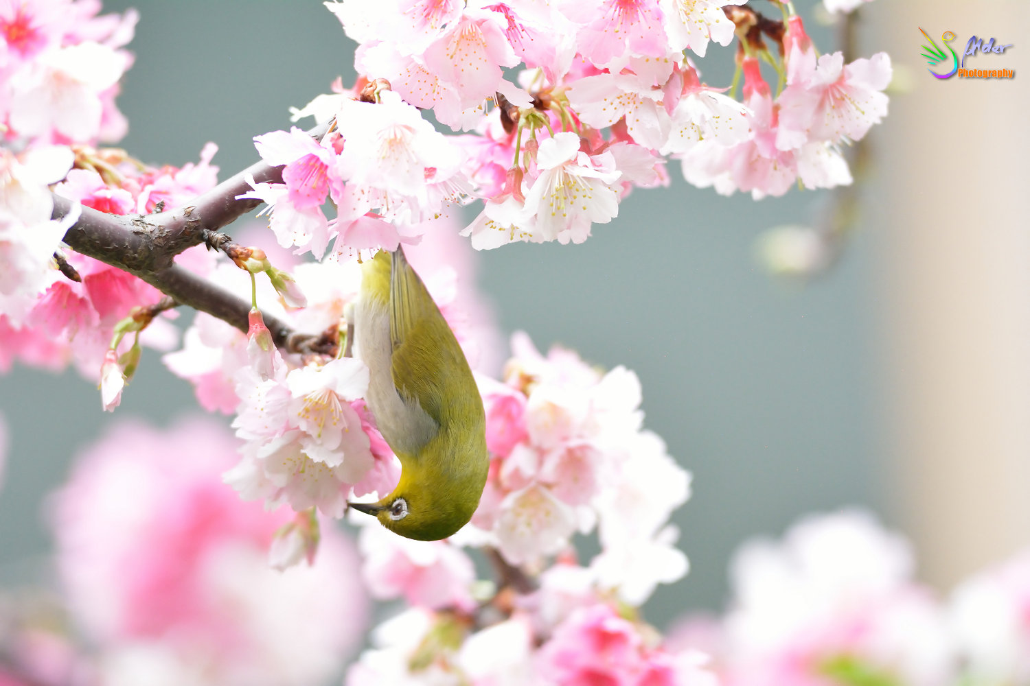 Sakura_White-eye_7355