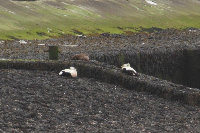 Overview of three eiders
