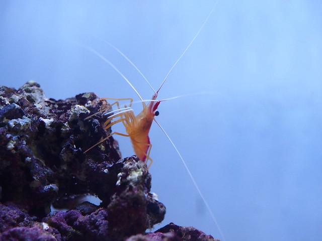 P3202108 清潔蝦