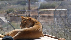 Out of Africa - Camp Verde, Arizona 2016