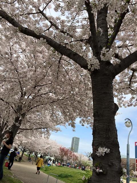 お花見ウクレレ20150404-3