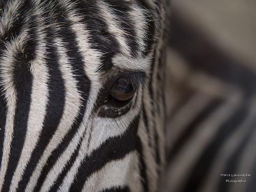 Zebraauge