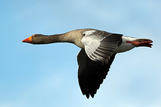 Greylag goose (Explore)