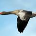 Greylag goose (Explore) by NickWakeling