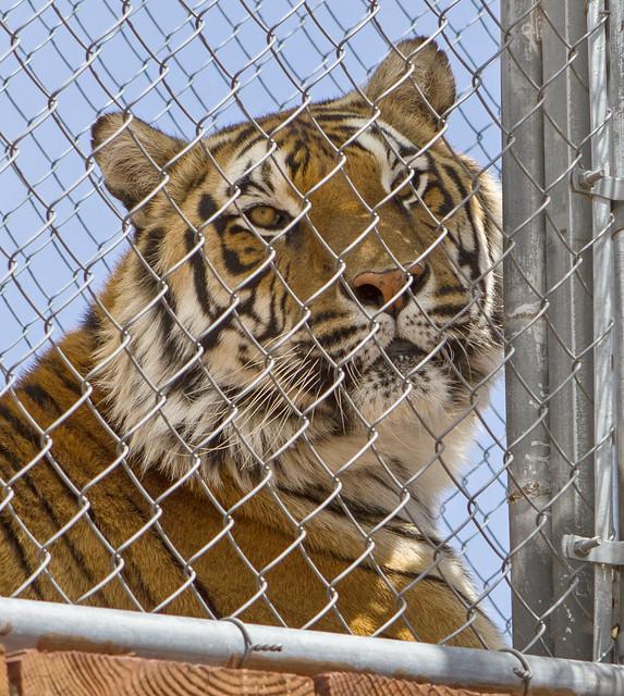 Tiger 2 142_7d1__250416
