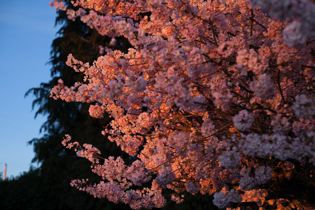 Golden hour on the cherry tree