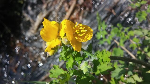 노란 들꽃길: 애기똥풀