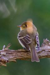 Pacific-slope Flycatcher (Empidonax difficilis)
