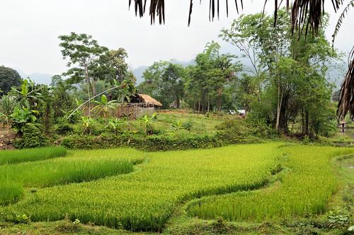 plant field landscape outdoors nikon asia southeastasia vietnamese village rice outdoor vietnam asie ricefield paysage ricepaddy paddyfield d300 viêtnam việtnam hagiang rizière asiedusudest hàgiang pascalboegli