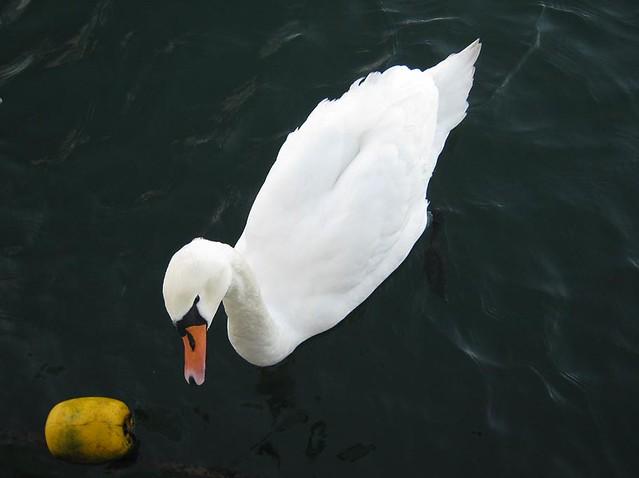 Tallin_swan