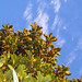 Small photo of Medlar Tree Under Blue Skies
