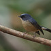 Slaty Blue Flycatcher by Ken Goh thanks for 2 Million views