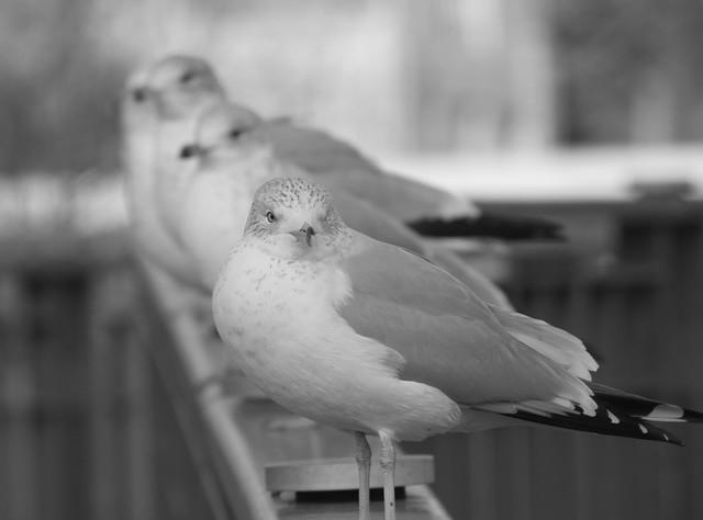 vg-gulls-1