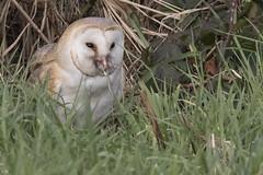 Barn Owl Dinner 1