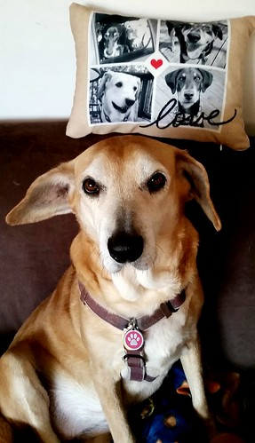 senior hound mix ©LapdogCreations #LapdogCreations
