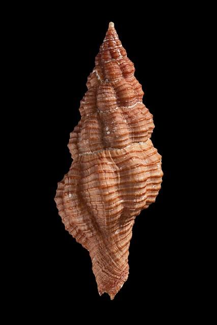 Polygona angulata - (Röding, 1798) 25698153131_7f2de0c24b_z