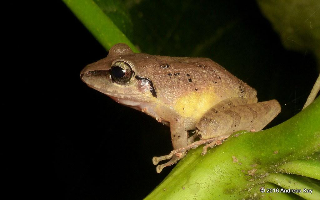 Pastures Rainfrog, Pristimantis achatinus